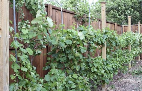 Garden Vine Trellis My Garden Trellis Make Your Garden Beautiful