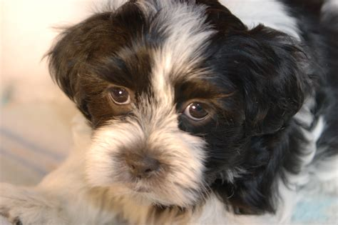 black and white havanese puppies for sale royal flush havanese puppies for sale