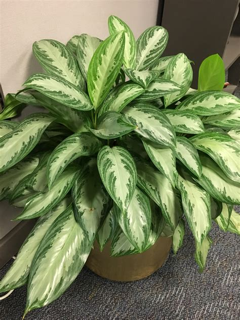 chinese evergreens houseplants to brighten your winter