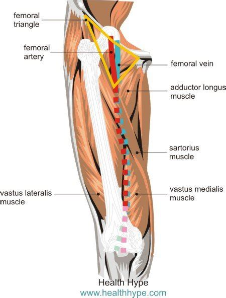 diagram of femoral artery groin lymph nodes diagram