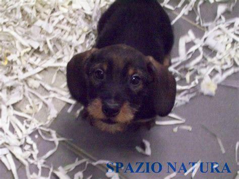 alimentazione bassotto nano bassotto tedesco a pelo duro maschio cucciolo petpassion