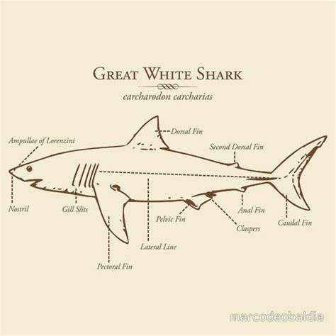Great White Shark Diagram