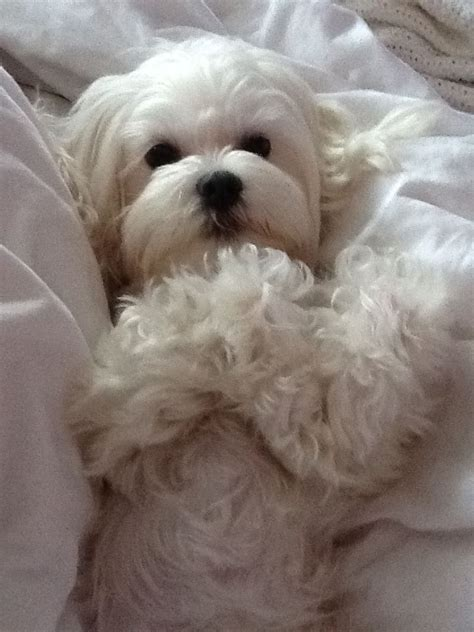 Maltese Do They Shed by 1000 Images About Maltipoo Dogs On