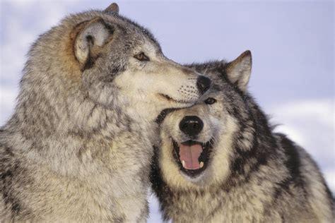 alaskan wolf grey wolf pictorial
