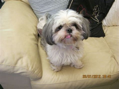 gray shih tzu lovely grey white shih tzu for sale sunbury on thames middlesex pets4homes