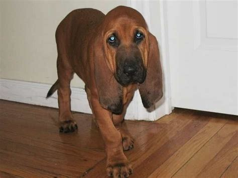 bloodhound puppies price bloodhound puppies for sale 07503987554 for sale adoption from delhi delhi adpost