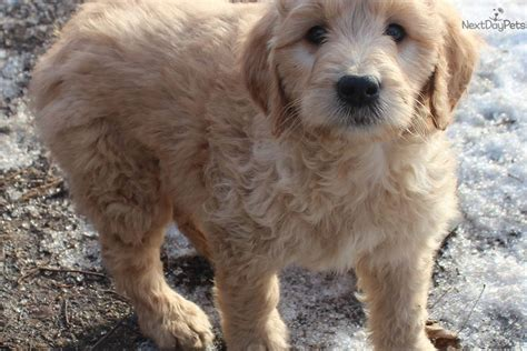 goldendoodle puppy iowa goldendoodle puppy for sale near southeast ia iowa