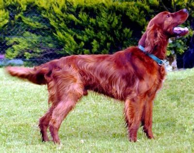 red setter working dog ierse setter