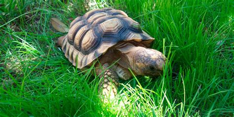 ficha de cuidados tortuga lagarto o mordedora tortuga mordedora cuidados galer 237 a de im 225 genes