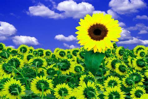 imagenes hermosas girasoles 4 imagenes de girasoles hermosos para postear imagenes