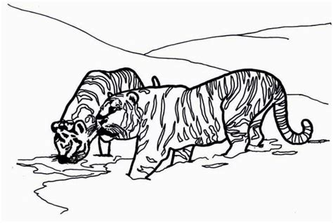 coloring page of a siberian tiger two siberian tigers on its snowy habitat coloring page