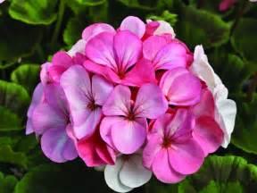 Geranium Flower Meaning - interpretation of a dream in which you saw 171 geranium 187