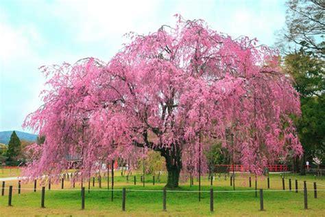 cherry bloosom tree cherry blossom tree mosaic made with cupcakes