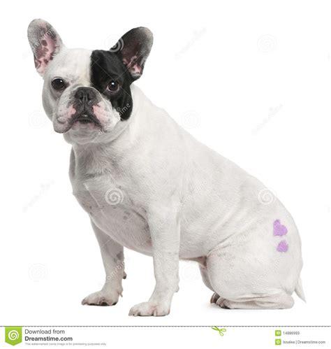 bulldog francese 3 anni con seduta i del tatuaggio