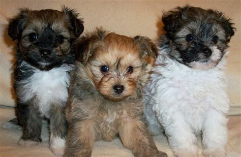 puppies for pomapoo puppies for sale coalville leicestershire pets4homes
