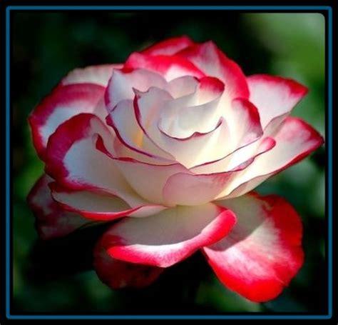 imagenes de rosas descargar gratis bajar imagenes de rosas brillantes imagen de rosas rojas