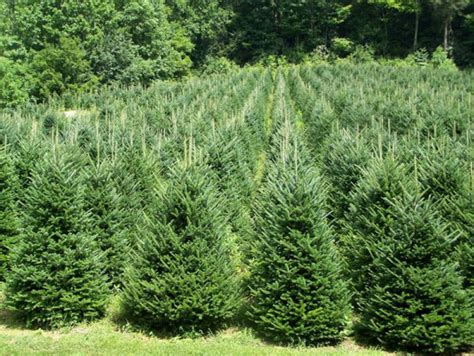 christmas tree varieties from fraser fir to scotch pine