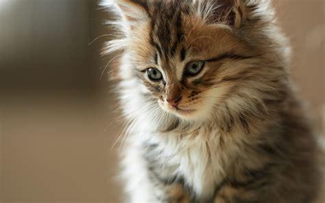 wallpaper kucing bergerak untuk pc wallpaper kucing lucu dan imut 2016 kumpulan tips dan