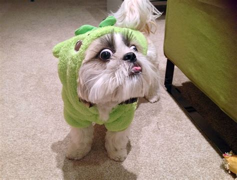 shih tzu costume 16 pictures only shih tzu owners will think are