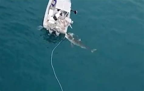 great white attacks fishing boat enormous 15ft great white shark filmed attacking fishing