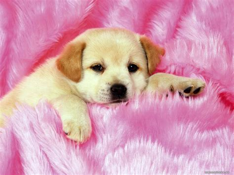 pink puppies on a pink plaid animals dogs pink puppies 1024x768 wallpapers photografies