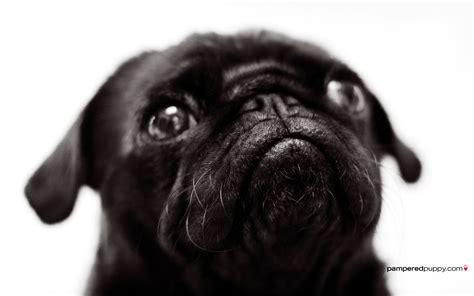 what is pug for beautiful pug pugs wallpaper 13728039 fanpop