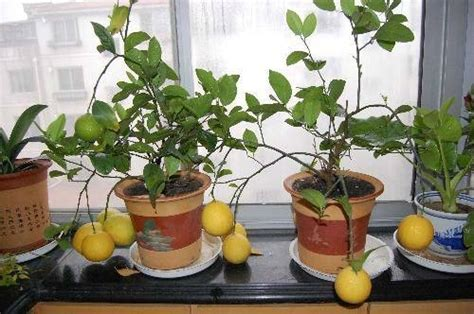 curare il limone in vaso come curare un bonsai di limone fare bonsai curare un