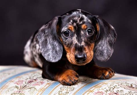 dotson puppies for sale best 25 dachshund puppies for sale ideas on daschund puppies for sale