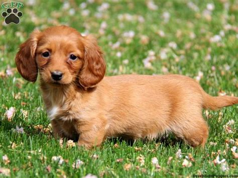 golden dox puppies for sale 44 best images about pet pals on miniature and