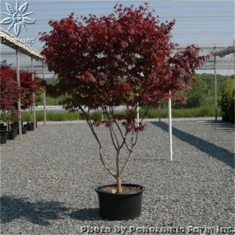 15 gallon maple tree 17 best images about japanese maple on sun privacy trees and emperor