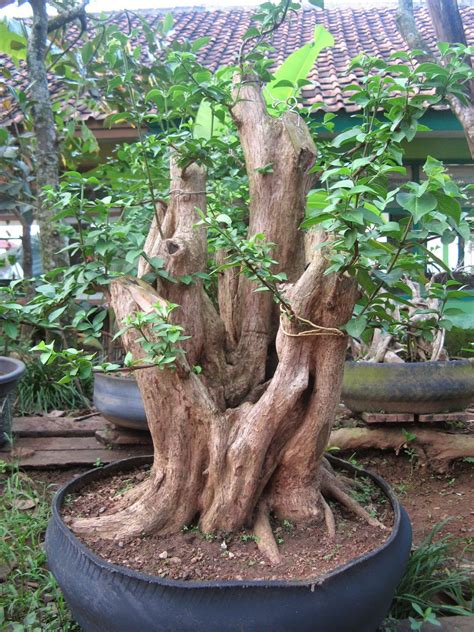 Batu Telur Pertified Wood Es 38 galeri bonsai gulo gemantung