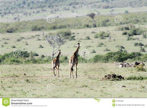 imagenes que se mueven de jirafas jirafas que se mueven lejos en el prado fotos de archivo