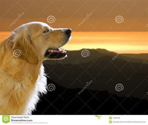 sunset golden retrievers royalty free stock photos golden retriever at sunset image 15395348