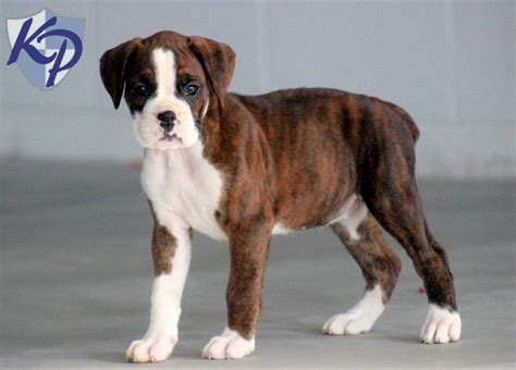 boxer puppies for sale in new 25 best ideas about boxer puppies for sale on boxers for sale boxer dogs