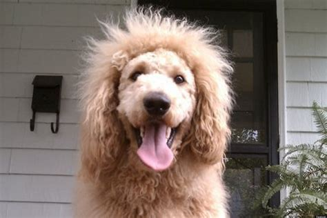 dogs that look like lions chow chow quotes