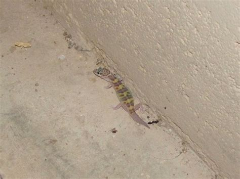 western banded gecko facts  pictures reptile fact