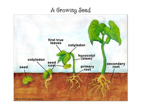 seed diagram diagram of a growing plant choice image how to guide and