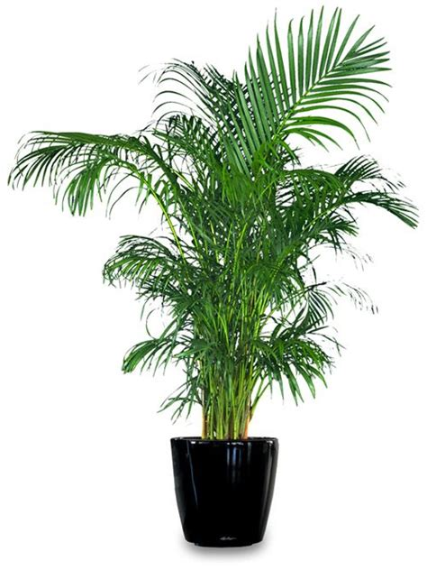 common house plants palms areca palm great indoor house plant that purifies the air home indoor house