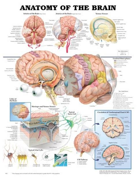 3d brain diagram anatomy of the brain