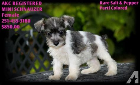 miniature schnauzer puppies florida akc registered miniature schnauzer puppies price reduced for sale in pensacola