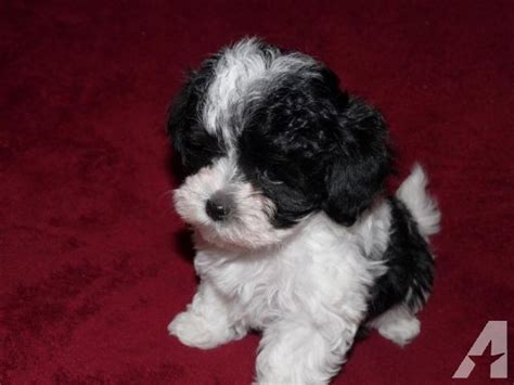 puppies for sale vancouver wa two tiny maltese poodle akc puppies for sale in vancouver washington