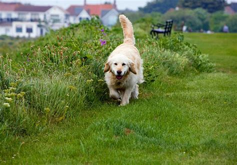 why dogs eat grass why dogs eat grass 7 possible reasons for grass explained
