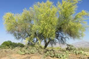 desert trees arizona desert xeriscape