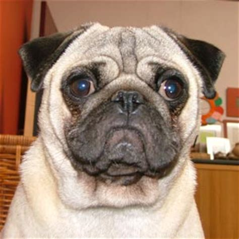 pug chino raza pug fotos de perros pug