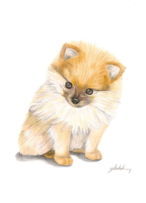 pomeranian drawing pomeranian puppy a4 coloured pencil cool colored pencils