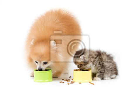 what of food do pomeranians eat pomeranian and cat food together on fototapeta