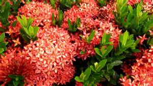 Flowering Tropical Shrubs - tropical plants ixora flowers youtube