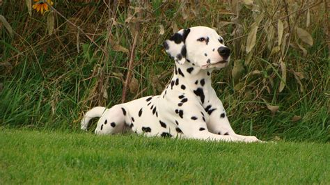 why are dalmatians dogs how dalmatians became the firehouse mascot
