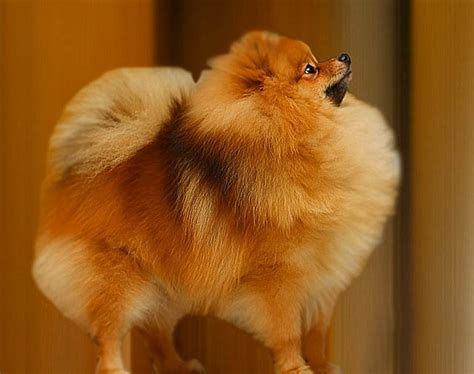 pomeranian name pet wallpapers pomeranian puppies pet wallpapers breeds picture