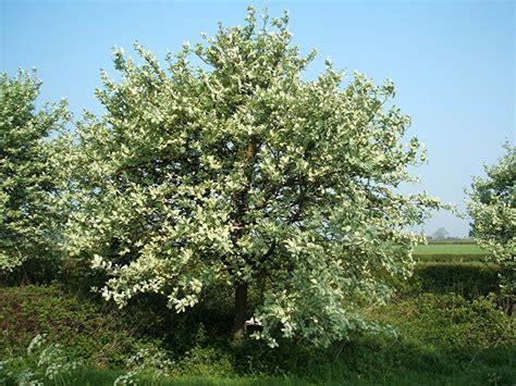 common whitebeam agg naturespot